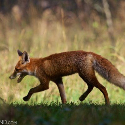 Red Fox In The Biebrza National Park