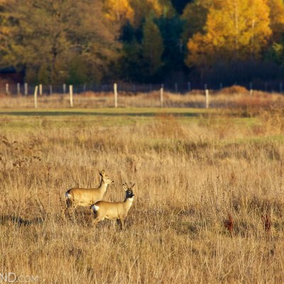 Roe Deer In The Białowieża Forest