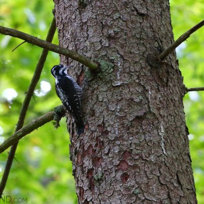 Three-toed Woodpecker In The Białowieża National Park
