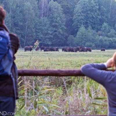 Watching European Bison At Dusk In The Białowieża Forest