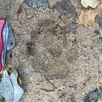 Wolf Track In The Białowieża Forest