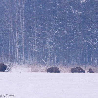 Bison In The Białowieża Forest, Our First Sighting Of The Tour.