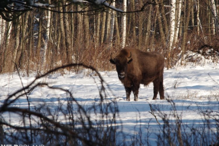 Bison In The Białowieża Forest.