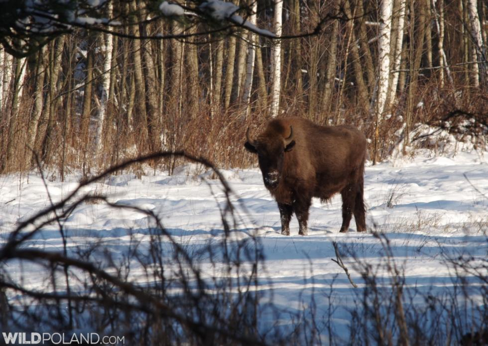 Winter Bison Safari & Wolf Tracking, Jan 2016