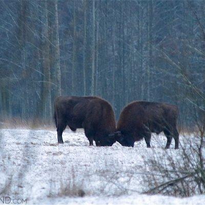 Bison Bulls Fighting In Snow, Białowieża Forest. Photo By Andrzej Petryna
