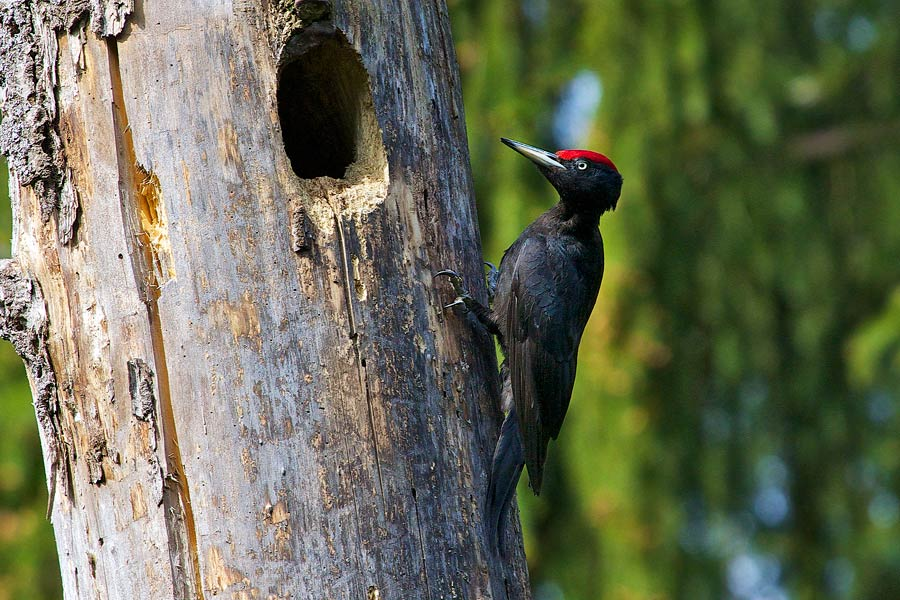 Black Woodpecker In The Biebrza Marshes By Łukasz Mazurek
