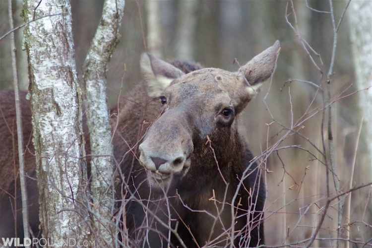 Elk (Moose) In The Biebrza Marshes. Photo By Andrzej Petryna