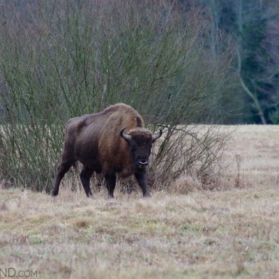 Bison Bull In The Białowieża Forest. Photo By Andrzej Petryna