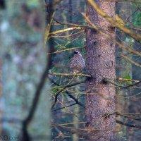 Hazel Grouse In The Białowieża Forest