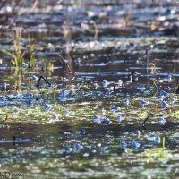 Moor Frogs In The Białowieża Forest