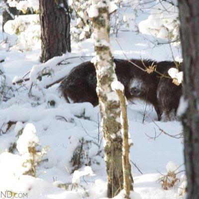 Wild Boar In The Białowieża Forest.