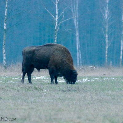 Bison In The Białowieża Forest By Andrzej Petryna