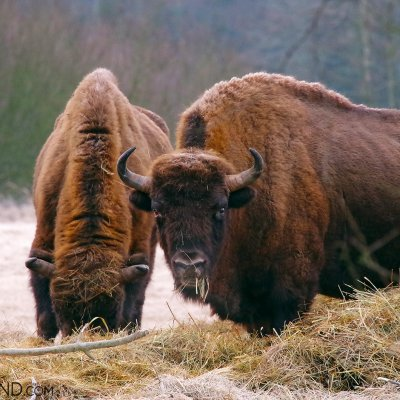 European Bison In The Białowieża Forest By Andrzej Petryna