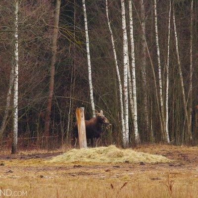European Elk (Moose) In The Białowieża Forest By Andrzej Petryna