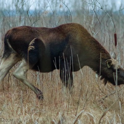 Elk (Moose) In The Biebrza Marshes By Andrzej Petryna