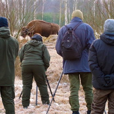 Watching Wild Bison In The Białowieża Forest By Andrzej Petryna