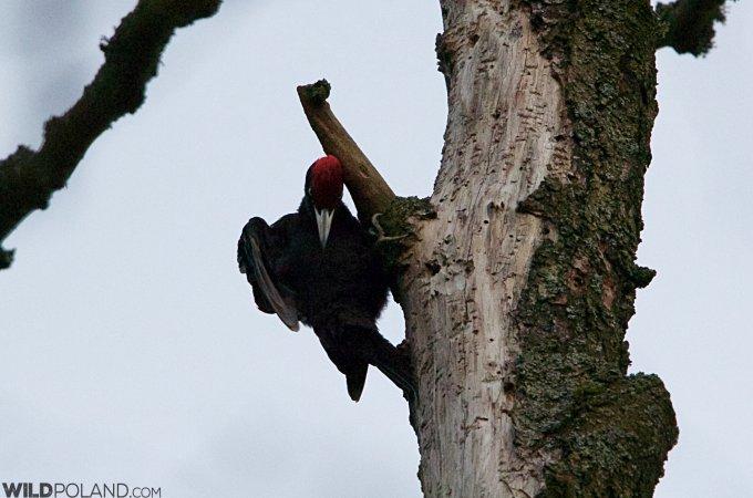 Black Woodpecker Bialowieza Forest Wildpoland
