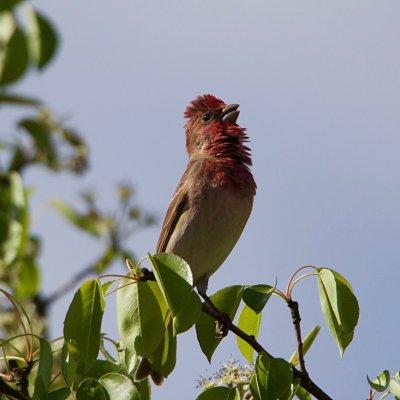 Scarlet Rosefinch In The Białowieża Forest