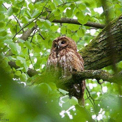 Tawny Owl In The Białowieża Village