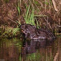 Beaver Bebrza Marshes Wildpoland