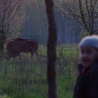 Bison See On Our Trip Early Morning In The Białowieża Forest