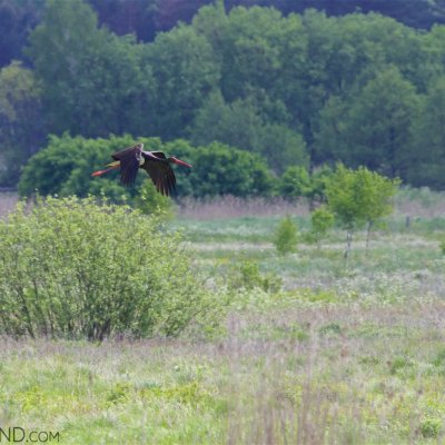 Black Stork In The Siemianówka Reservoir