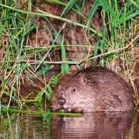 Oner Of Several Beavers Seen From Our Boat In The Evening