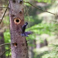 Three-toed Woodpeckers At Nest In The Białowieża Forest