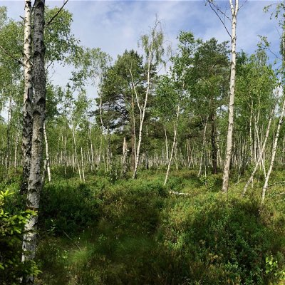 Bog Birch Forest In The Biebrza Marshes