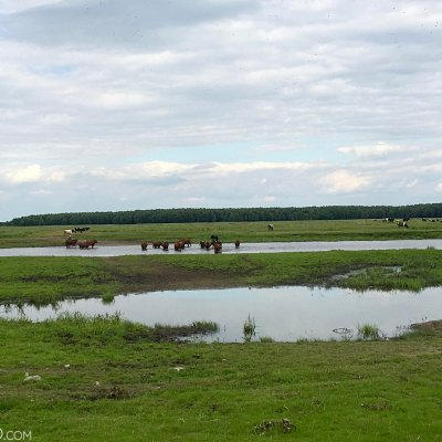 Happy Cows Of Brzostowo - Biebrza Marshes