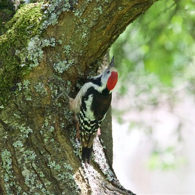 Middle-spotted Woodpecker In The Białowieża Forest
