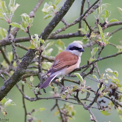 Red-backed Shrike In The Białowieża Forest