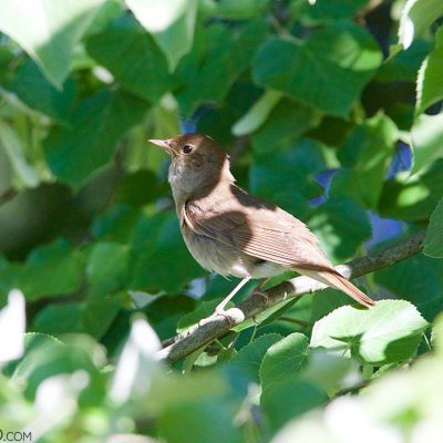 Thrush Nightingale In The Białowieża Forest
