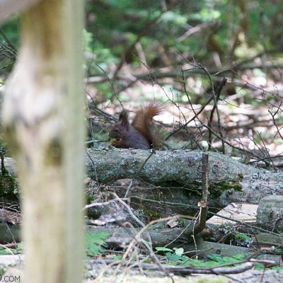 Red Squirrel In The Białowieża Forest