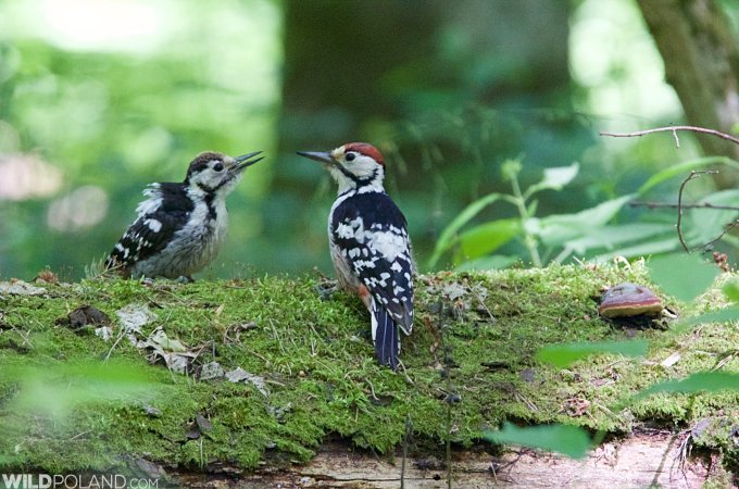 White-Backed Woodpecker In The Białowieża Forest