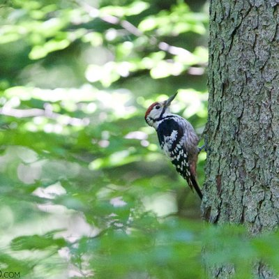 White-backed Woodpecker In The Strict Protection Area Of Białowieża National Park
