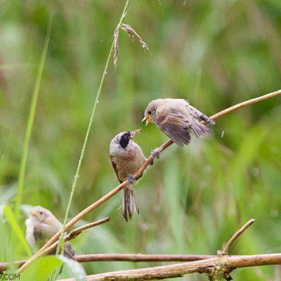 Penduline Tit In The Dojlidy Fishponds