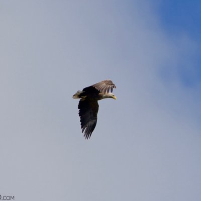 White-tailed Eagle In The Biebrza Marshes