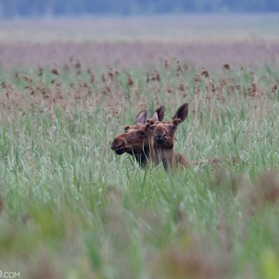 Elk (Moose) In The Biebrza Marshes