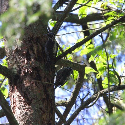 Three-toed Woodpecker In The Strict Protection Area Of Białowieża National Park