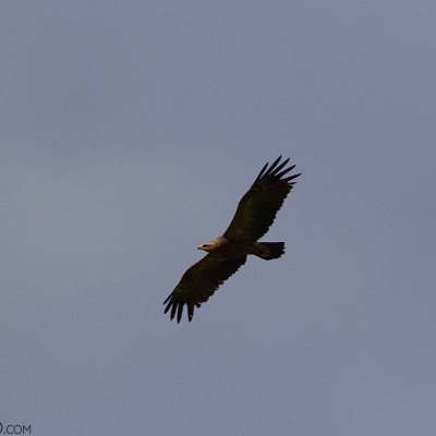 Lesser-spotted Eagle In The Białowieża Forest