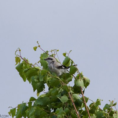 Great Grey Shrike In The Siemianówka Lake