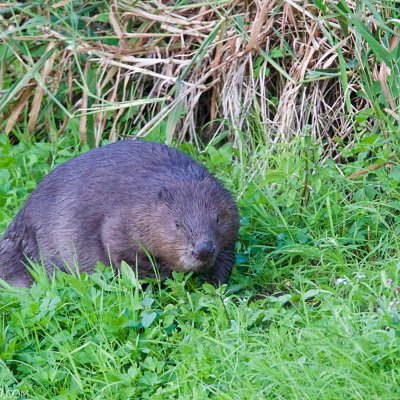 Beaver In The Biebrza Marshes