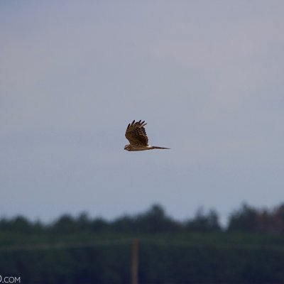 Montague's Harrier In The Biebrza Marshes