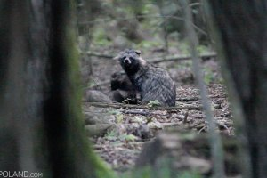 Raccoon Dog in the Białowieża Forest