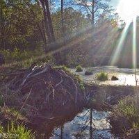 Beaver-lodge-dam-biebrza-marshes-wildpoland-01