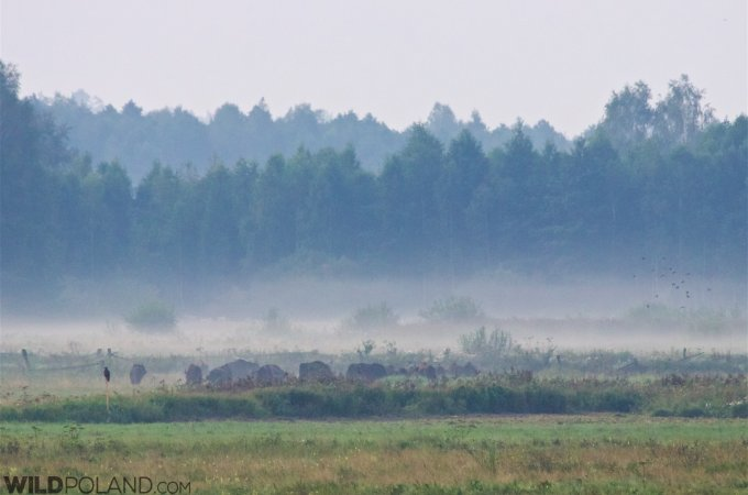 Bison And Lesser Spotted Eagle In The Białowieża Forest At Dawn