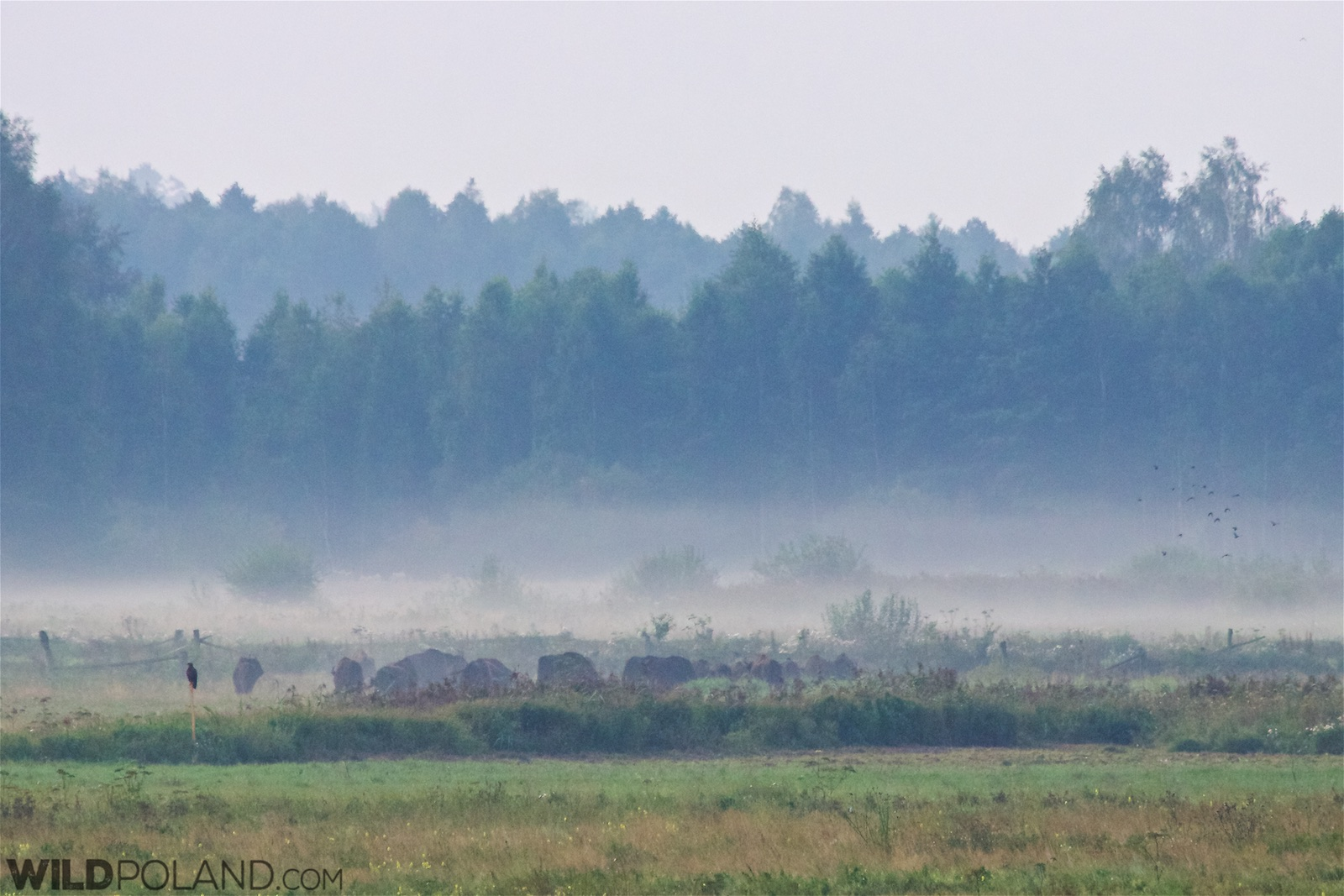 Bison Safari With Wild Poland Short Video