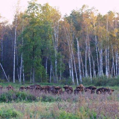 Wild Bison Herd In The Białowieża Forest