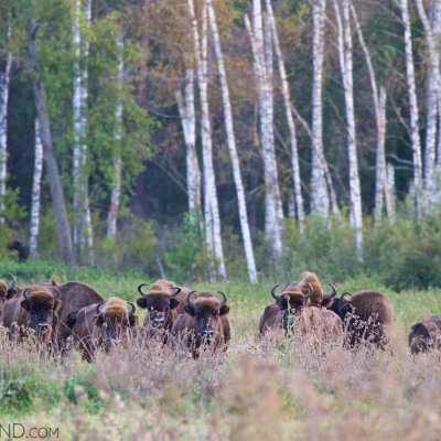 Wild European Bison Herd In The Białowieża Forest